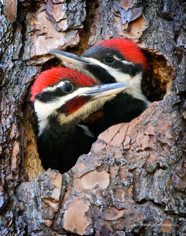 Pileated Woodpeckers Nesting by Geryl Mortensen